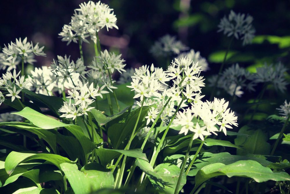wild garlic blossoms