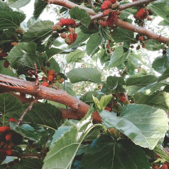 mulberry tree, mulberry fruit