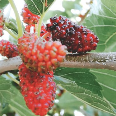 mulberry fruit, mulberries on a tree
