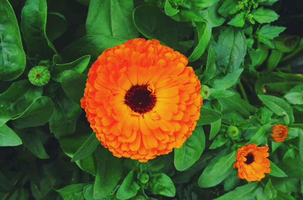Calendula Benefits & Uses: Health, Beauty & Kitchen