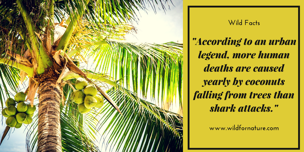 WildFacts, coconuts