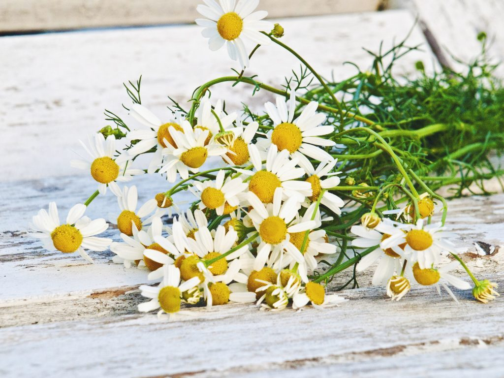 chamomile benefits for health, skin and hair