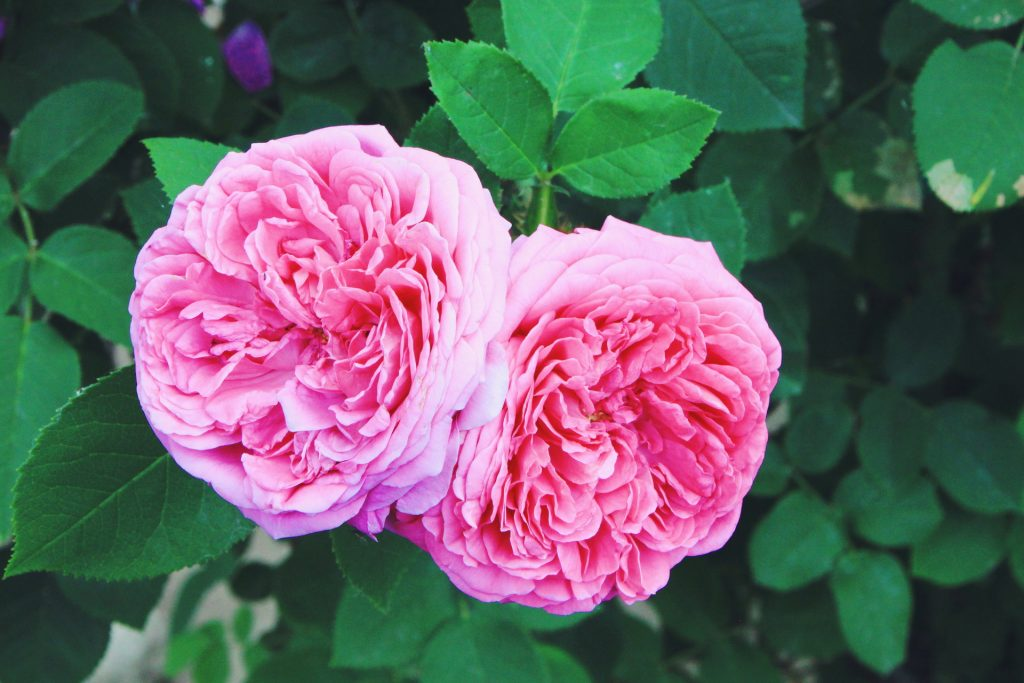 damascus rose for rosewater