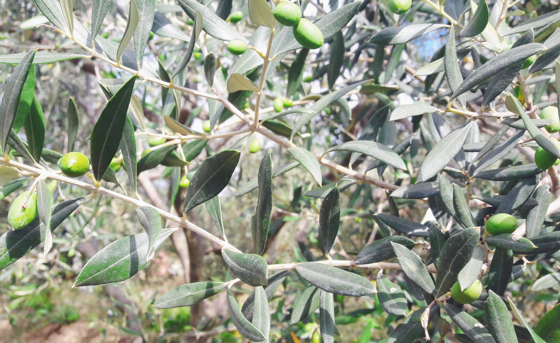 Is Olive Oil Good For Your Skin And Hair? Click To Find Out...