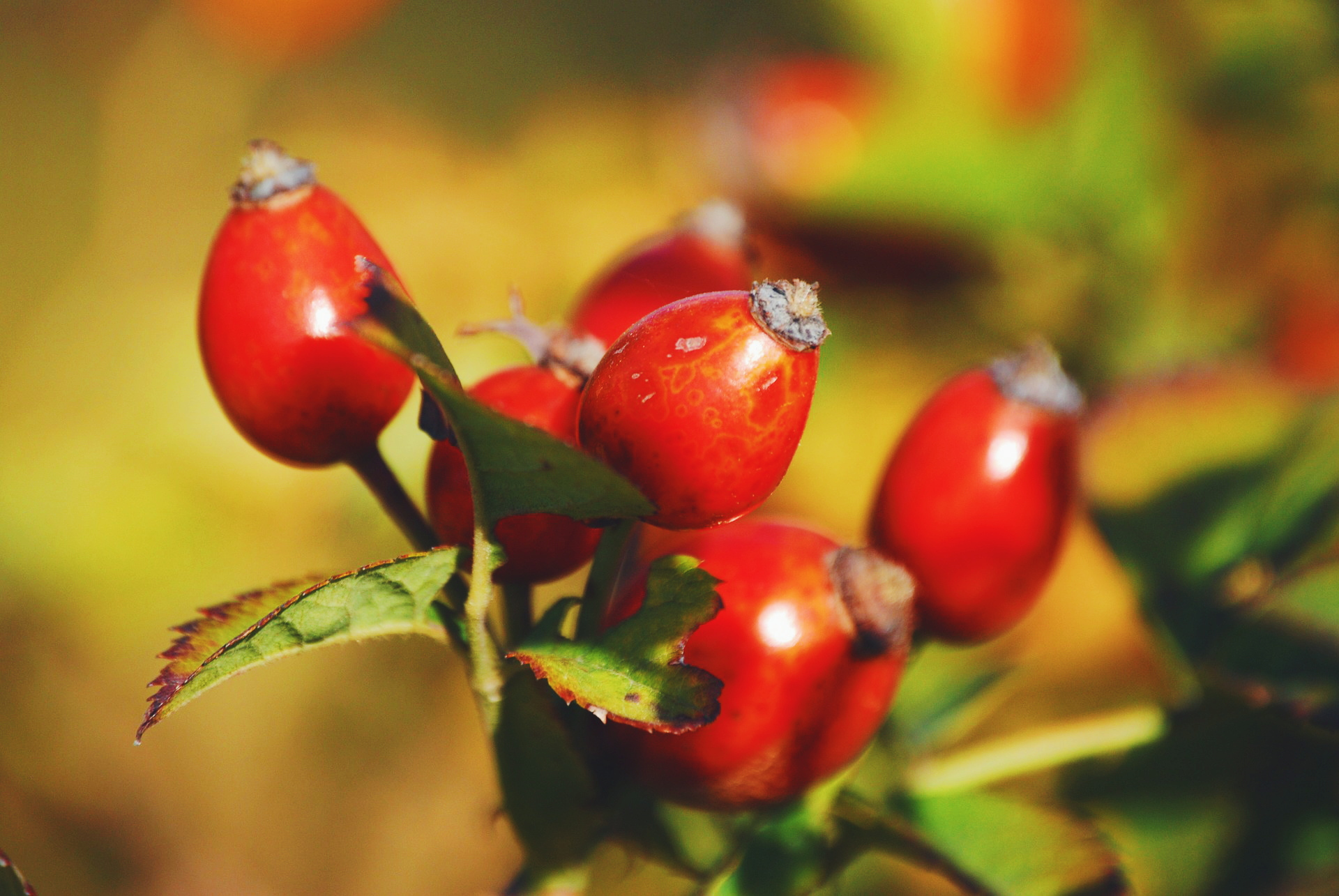 Rosehip Oil for Acne Scars: Does it Really Work?